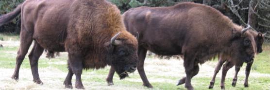 animaux_bison-bando