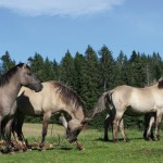 Le cheval Konik Polski