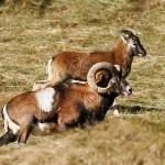 Le mouflon corse